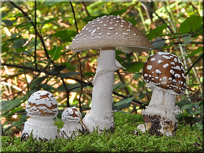 Amanita_pantherina.jpg