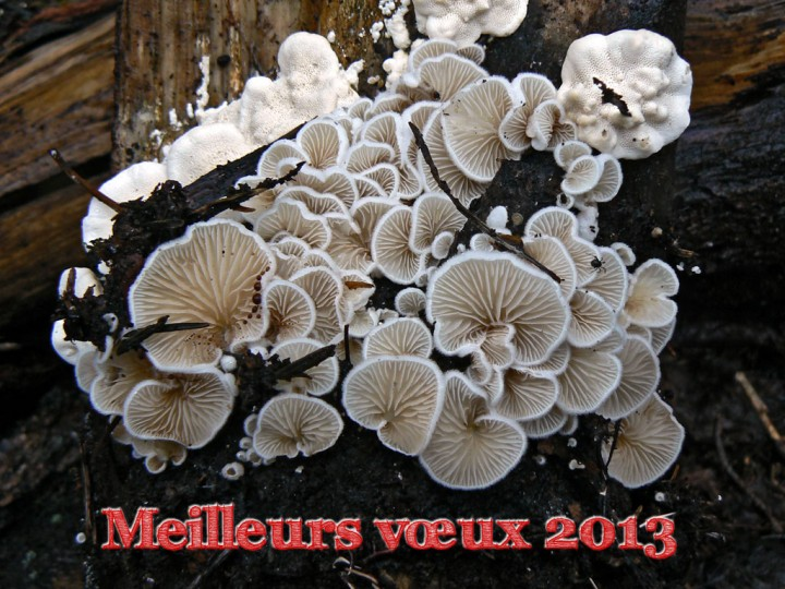 Session Champis.net-MycoDB - Octobre 2012 Morvan - Crepidotus sp.