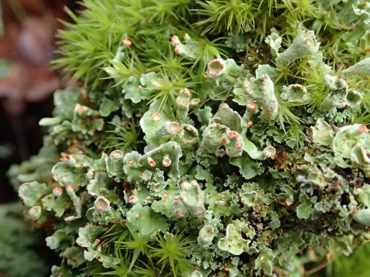 Cladonia digitata morpho. digitata [45] [02-05-2017] (5)-redim1024.JPG